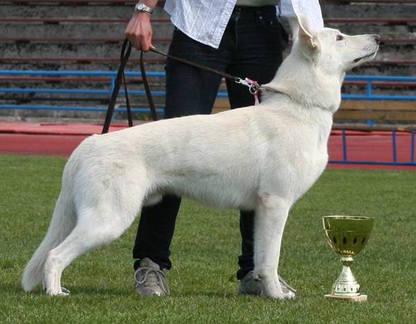 BTWW - Born to Win Warrior White Swiss Shepherd & Belgian Shepherd Malinois 9