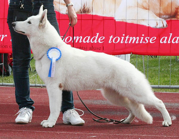 BTWW - Born to Win Warrior White Swiss Shepherd & Belgian Shepherd Malinois 10