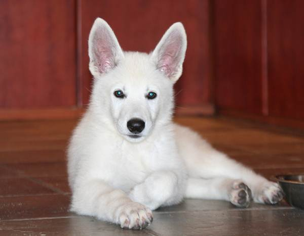 BTWW - Born to Win Warrior White Swiss Shepherd & Belgian Shepherd Malinois 12